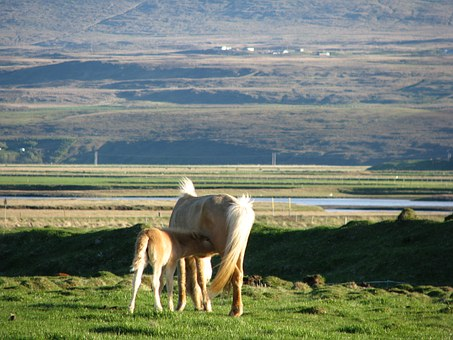 Iceland, Breastfeeding, Animals