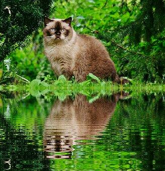 Cat, British Shorthair, Bank, Mirroring, Water