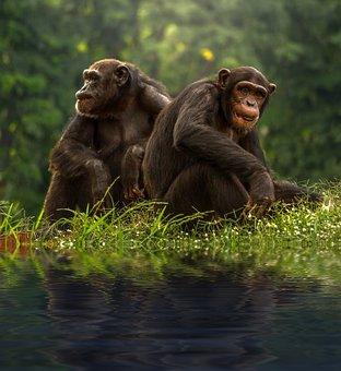 Chimp, Brown, Bonobo, Chimpanzee, Pair, Animals