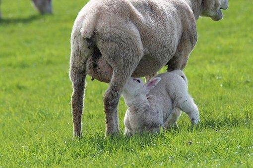 Lamb, Sheep, Ewes, Breastfeeding, Animal, Deichschaf