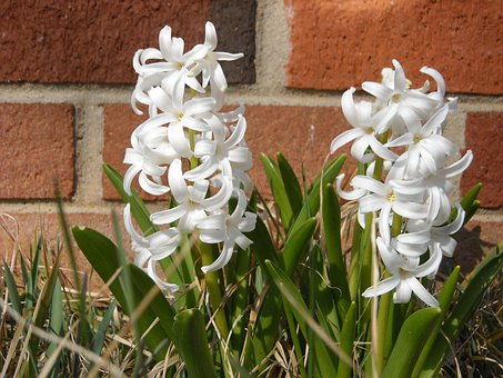 Hyacinth, Flowers, Brick, Wall, Garden, White, Plant