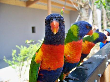 Birds, Lori, Animal, Lori Red, Beak, Colors