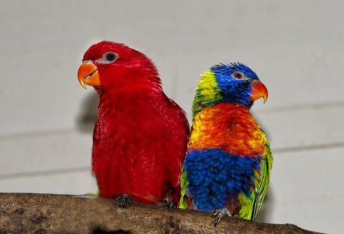 Rainbow Lorikeet, Lori Red, Rainbow Parrot, Parrot