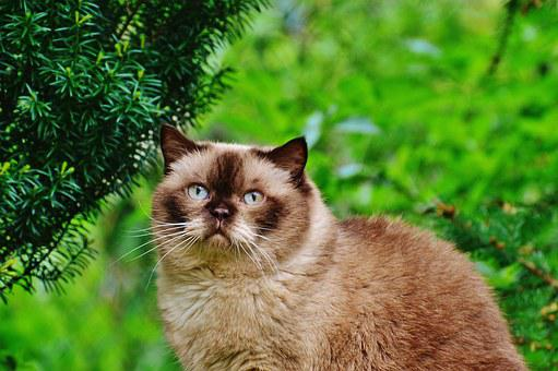 Cat, British Shorthair, Mieze, Blue Eye, Garden