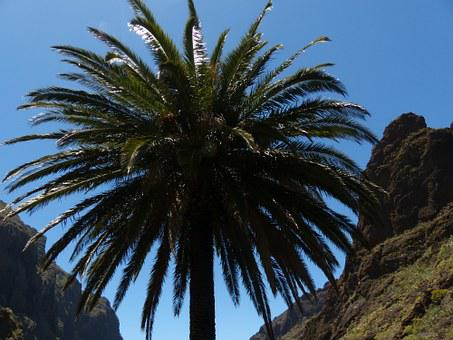 Palm, Canary Island Date Palm, Phoenix Canariensis