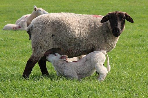 Sheep, Lamb, Cheerful, Happy, Cute, Domestic Sheep
