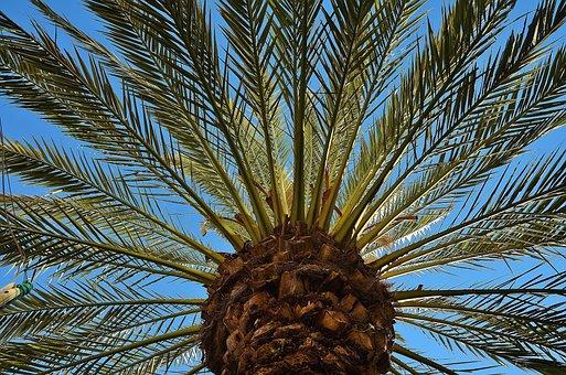Palm, Tree, Date Palm, Shade Tree, Tribe, Log