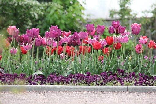 Tulips, Tulipa, Tulpenzwiebel, Breeding Tulip, Purple