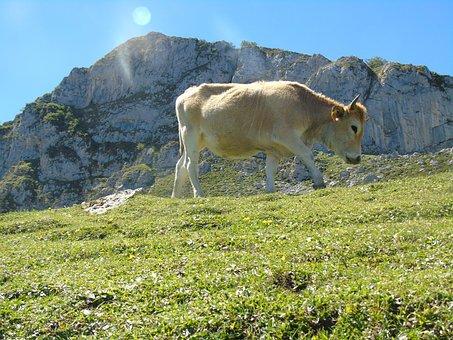 Cow, Asturias, Covadonga Lakes, Picos De Europa, Nature