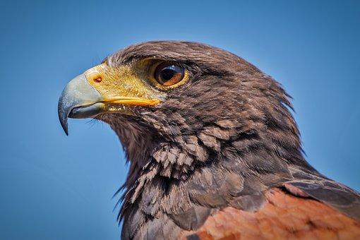 Harris Hawk, Parabuteo Unicinctus, Bird, Bird Of Prey