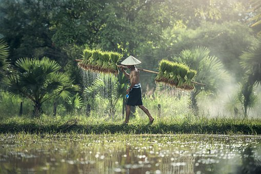 Agriculture, Asia, Cambodia, Grain, Kids, The Country