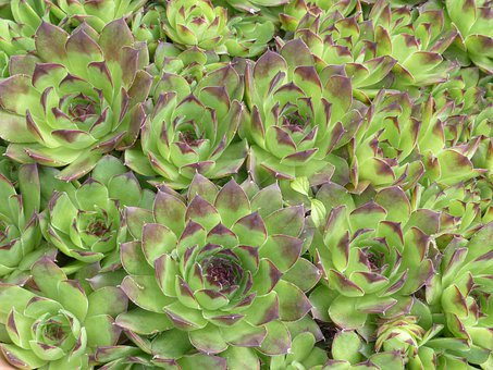 Houseleek, Plant, Leaves, Pointed, Reddish, Green
