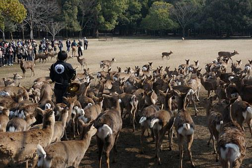 Japan, Nara, Deer, Gather, Man, Stag's, Animal, Feeding