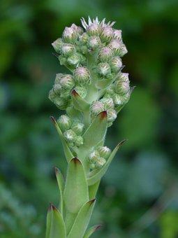 Bud, Flowers, Inflorescence, Green, Houseleek, Plant