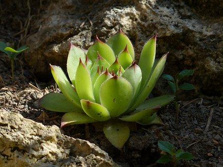Houseleek, Plant, Leaves, Meaty, Roof Houseleek