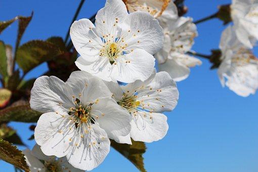Cherry, Flower, Fruit, Tree, Italy, Italian, Sweet