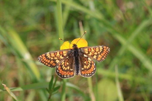 Marsh Fritillary Butterfly, Euphydryas Aurinia, Collure