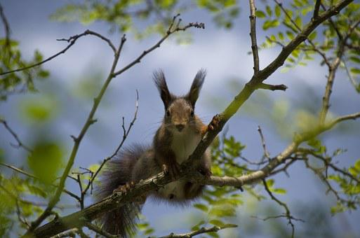 Squirrel, Verifiable Kitten, Spring, Nest Robbers