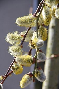 Spring, Pussy Willow, Blossom, Bloom, Palm Kitten
