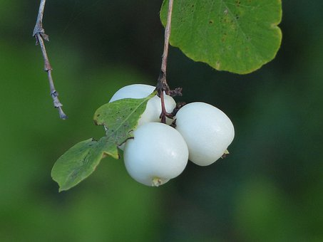 Common Snowberry, Berries, White, Symphoricarpas Albus