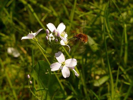 Great Wollschweber, Insect, Bombylius Major