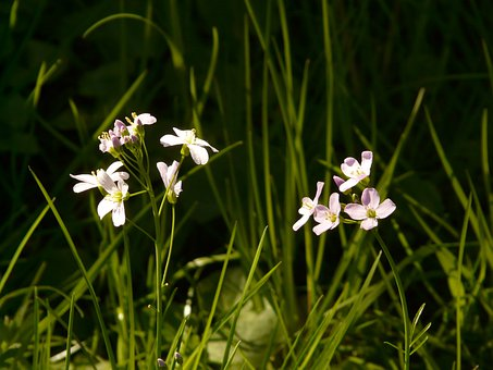 Cuckoo Flower, Pointed Flower, Card Amines Pratensis