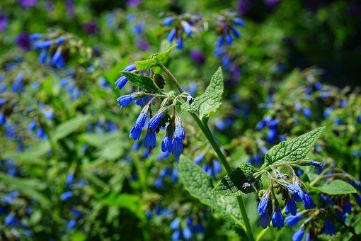 Rough Comfrey, Flower, Blue, Symphytum Asperum