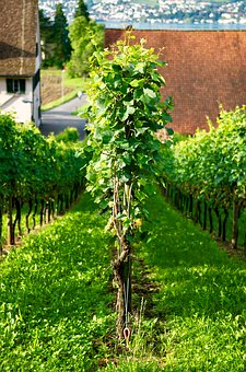 Wine, Grape, Vine, Zurich, White Wine, Harvest, Uetikon