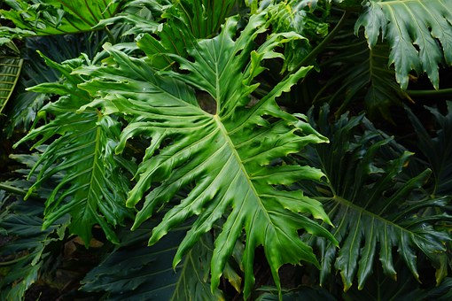 Leaves, Large, Green, Huge, Exotic, Tree Philodendron
