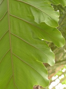 Leaf Veins, Leaf, Large, Green, Philodendron