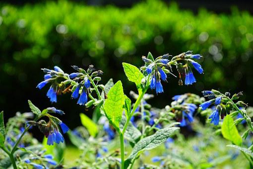 Flowers, Blue, Rough Comfrey, Flower, Symphytum Asperum