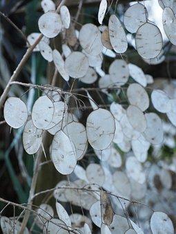 Silver Leaf, Lunaria, Silberling, Judas Schilling