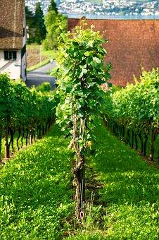 Wine, Grape, Vine, Zurich, White Wine, Harvest, Uetikon
