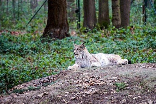 Wildlife Park, Lynx, Gangelt, Gangelt Wildlife Park