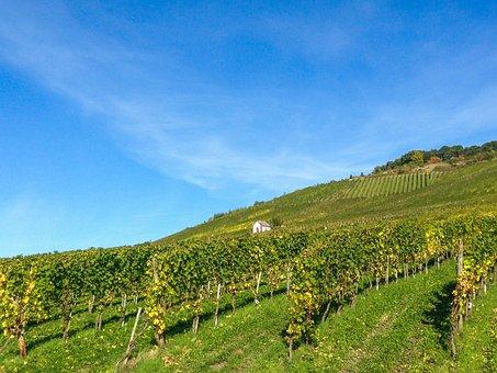 Vineyard, Mosel, Wine, Winegrowing, Cask Of Mosel Wine