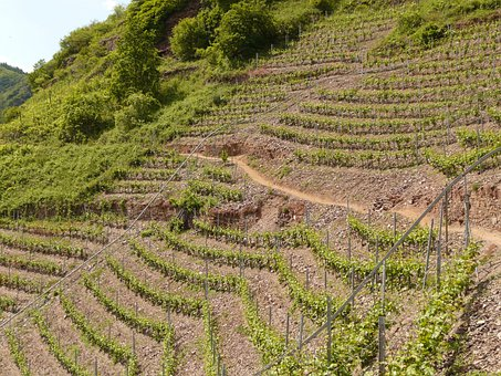 Vineyard, Steep Slope, Winegrowing, Wine