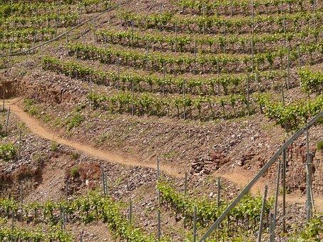 Vineyard, Steep Slope, Winegrowing, Wine