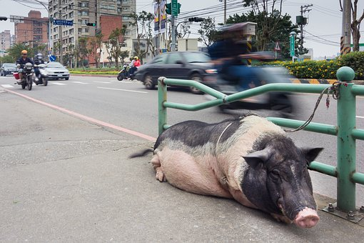 Pig, Pet, Street, Domestic, Animal, Animal Rights
