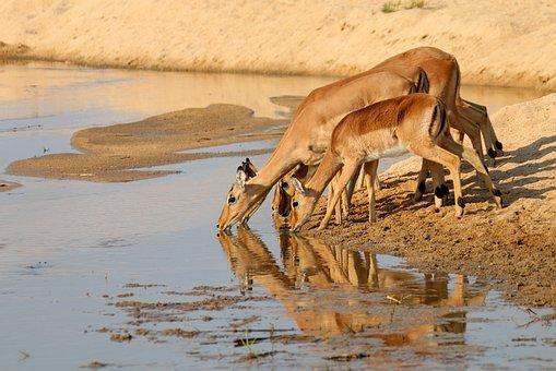 Gazelle, Antelope, Kudu, Africa, Wildlife, Animal