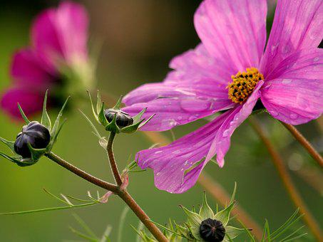 Bud, Cosmos, Pink, Violet, Cosmea, Blossom, Bloom