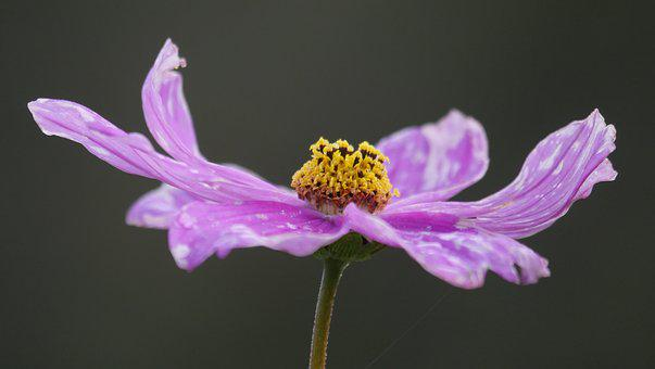 Cosmos, Violet, Blossom, Bloom, Close, Cosmea, Flower