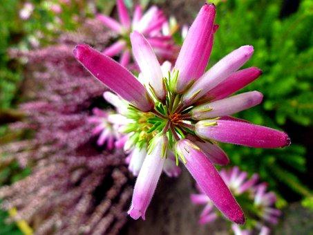 Irish Erika, Heather Blossoms, Irish Heath, Flowers