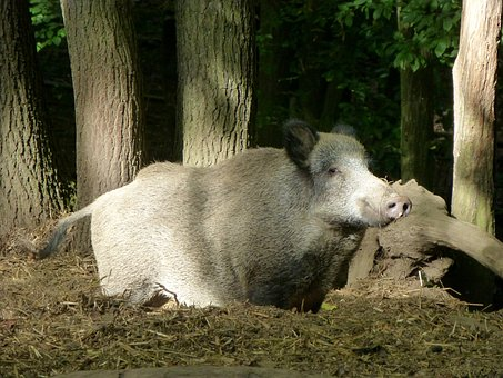 Boar, Sow, Animal, Forest, Nature, Bristles, Creature