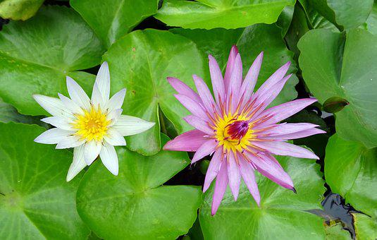 Lily, Water Lily, White, Nymphaea Pubescens Willd