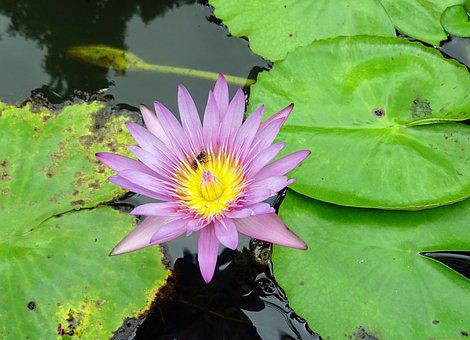Lily, Water Lily, Cape Blue Waterlily
