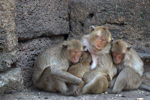Lop Buri, Phra Prang Sam Yot, Monkey, Macaque