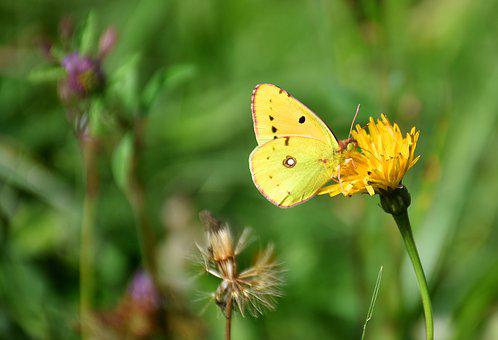 Butterfly, Golden Eight, Colias Hyale, Posthoernchen