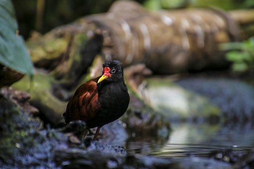 Rotstirn Jassana, Bird, Waders, Plover-like
