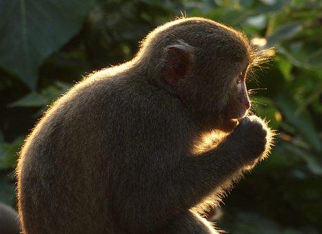 Taiwan Macaques, Shoushan, Macaque, Taiwan, Shibayama