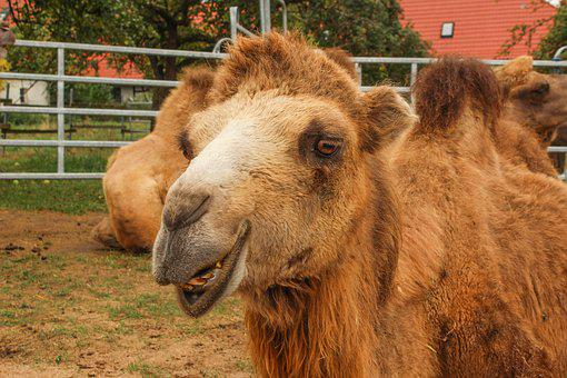 Zoo, Camel, Circus, Desert Ship, Animal, Nature, Mammal
